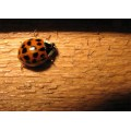 LADY BUG WOOD