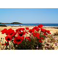 lagonisi greece beach poppies springbook