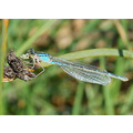 Damselfly, Feeding, September 24, 2008