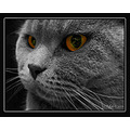 cat british shorthair