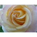 Flower Rose Yellow Dew Macro jdahi64