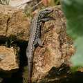 lezard nature luxembourg