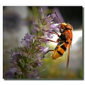 france fontainebleau insect hoverfly franx fontx insex flyx