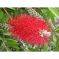 flower crimson bottlebrush