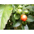 Berry Fruit Plant Leaves