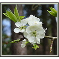 In my part of the world, it seems to be Springtime (early this year).  The pear tree is usually t...
