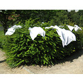 7. As I said, the farm is still run in the age-old way - washing drying on the hedges....