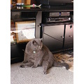 british shorthair male cat feline animal pet family
