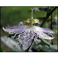 passionflower flower vine maypops nature purple