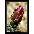 macro cactus flower nature spring volos greece