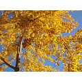 autumn gold yellow blue sky naturefph ginkgo tree leaves