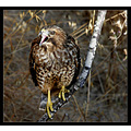 Red Shouldered Hawk #33