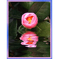 Camelia plant shrub flower Floodplugin aloha oregon