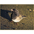 birds nature junco