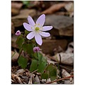 rueanemone wildflower pin thalictrumth alictroides