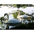 netherlands loosdrecht water lake bird swan nethx loosx waten laken birdx swanx