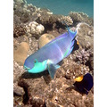 parrot fish egypt coral diving saffi9