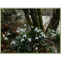 first snowdrops 2013