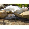 cat white lazy summer garden animal