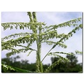 corn tassel garden vegetable