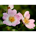 dog rose pink flower