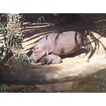 The new baby Hippo and its mother at the Pretoria Zoo. How adorable hey?