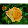 Alchemist Rose Soon Blooming June 2012 Skane Sweden Yellow Orange Red