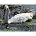 adult mute swan bird white waterfowl water swimming