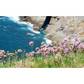 cliffs thrift lundy island flowers