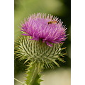 Thistle Hoverfly Macro Flower Plant Nature Insect