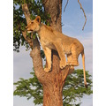 Wildlife lion zimbabwe perfect pose