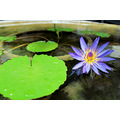 nikon d60 1855mm water lily flower macro colorful