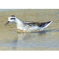 Red-necked Phalarope, juv. male, September 3, 2008