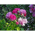 roses morcom oakland rgardenfphmay09 multicolorfriday2 rose
