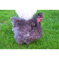 little grey chook again