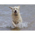 Skye splashing around at Findhorn bay