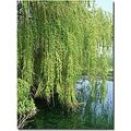 willow tree pond