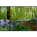 bluebells forest woodland nottingham