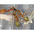 animal insect ant ants macro biology