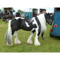 stallion peibald long mane tail feathers gypsy cob
