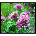 summer flower red clover