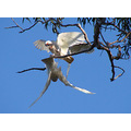 bird corella acting the fool perth littleolllie