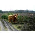netherlands hilversum heather animal cattle nethx hilvx heatn animx cattx