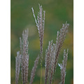 grass weed ornamentalgrass
