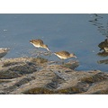 Black-tailed Godwits (winter visitors to UK)