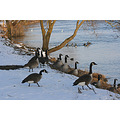 geese winter moselle luxembourg