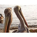 The Peruvian Pelicans dive for their meals. Soaring above the water, a pelican will spy their mea...