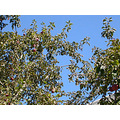apple apples tree autumn berkeley foodfph blue sky green