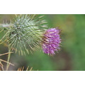 crescent city california thistle plant across from jennys place