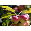Reifel Sanctuary Delta BC Canada apples tree